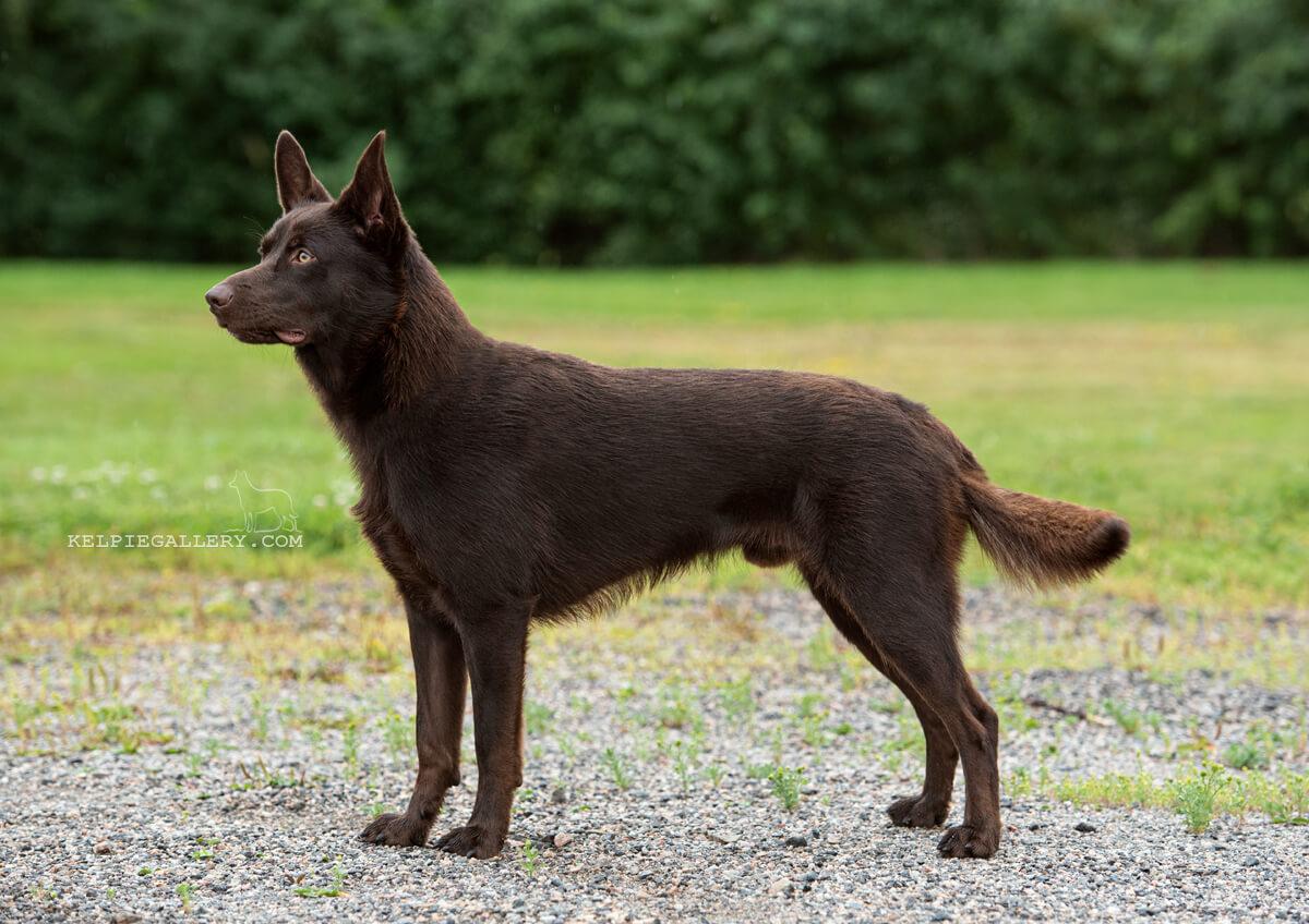 Hårdehalls Chocolate Dog