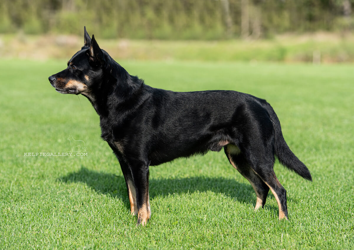 Leagården's Black And Tan Khaoz