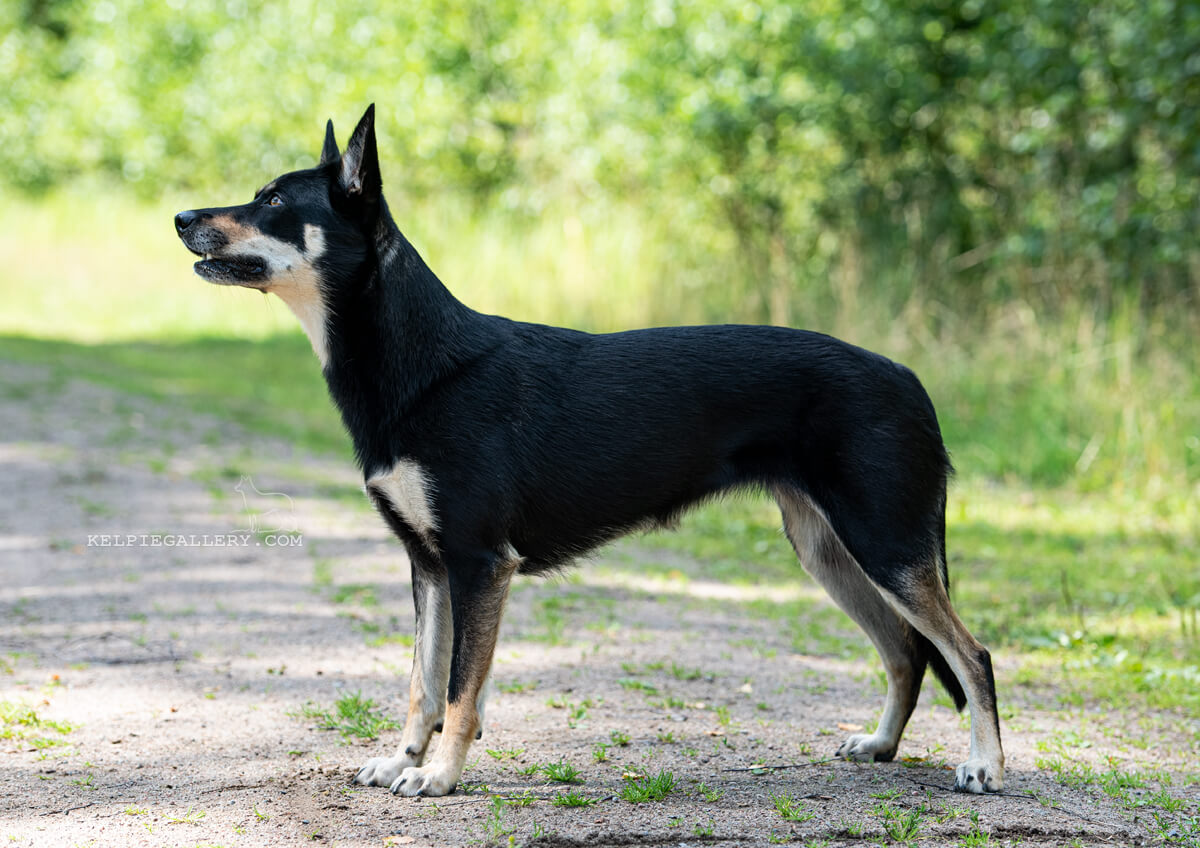 Leagården's Black And Tan Lissie