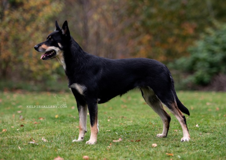 Leagården's Black And Tan Lysa