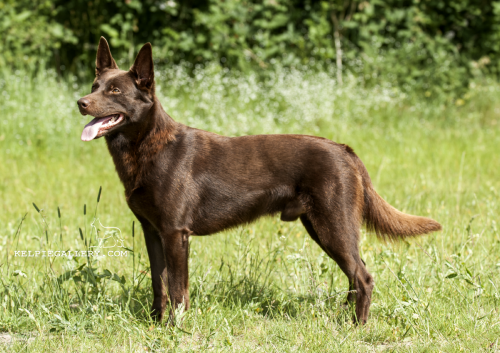 Skovfarmen's Brown Balto