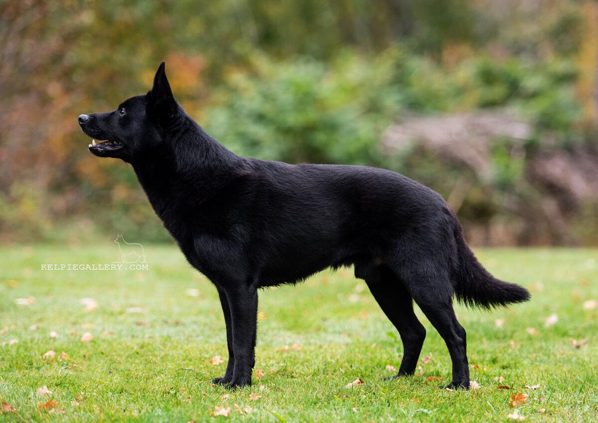 Whyalla's Black Hunter