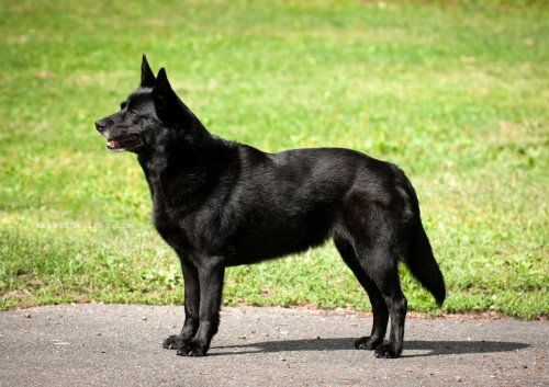 Zathungens Black Beauty